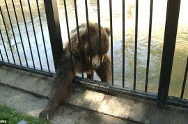 North Dakota idiot breaks into zoo has arm mauled by bear