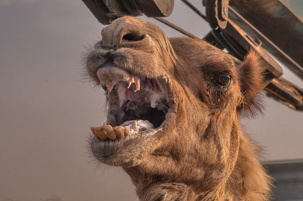 camel bites owner's head off
