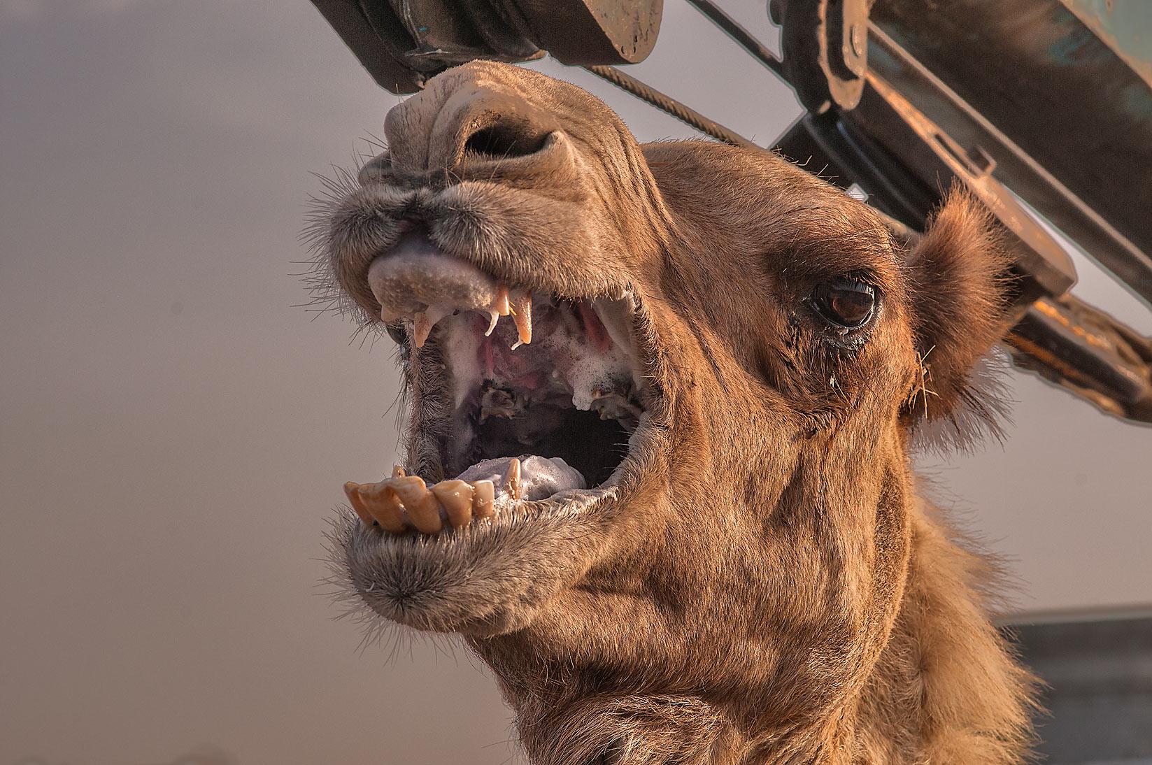 camel bites owner's head off