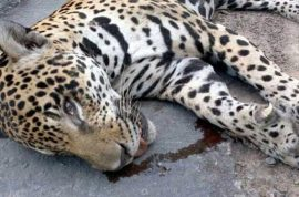 'We made a mistake' Brazil army Olympic mascot jaguar shot dead after torch ceremony bid for freedom
