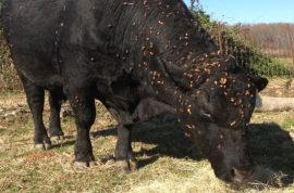 Should Craig Mosher face manslaughter charges after his bull caused deadly crash?