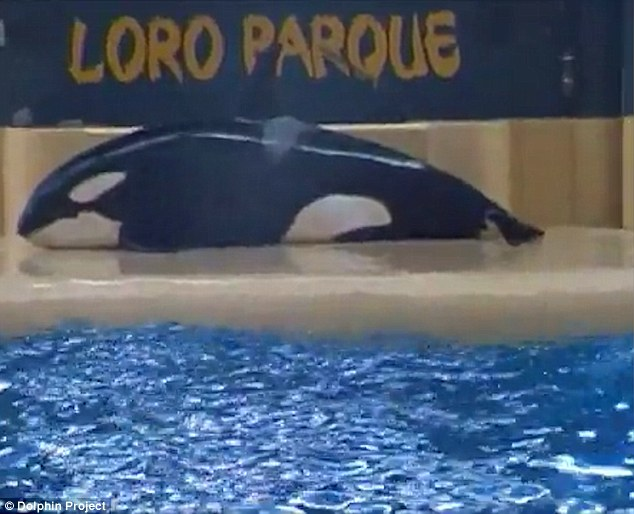 SeaWorld killer whale beaching suicide