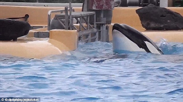 SeaWorld killer whale beaching suicide