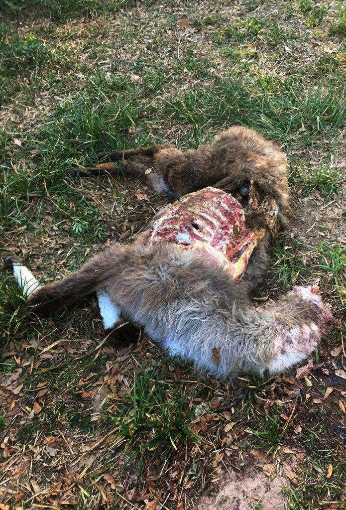 Two Texas teens behead llama