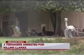 Why? Two Texas teens behead Llama, shoot another.