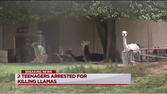 Two Texas teens behead llama