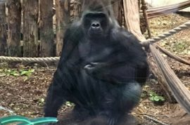 'He was psycho!' Kumbuka London gorilla escapes zoo enclosure