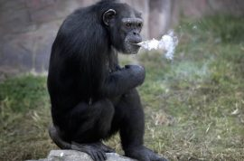 Down to 20 cigarettes a day: Meet Azalea the North Korean smoking chimpanzee