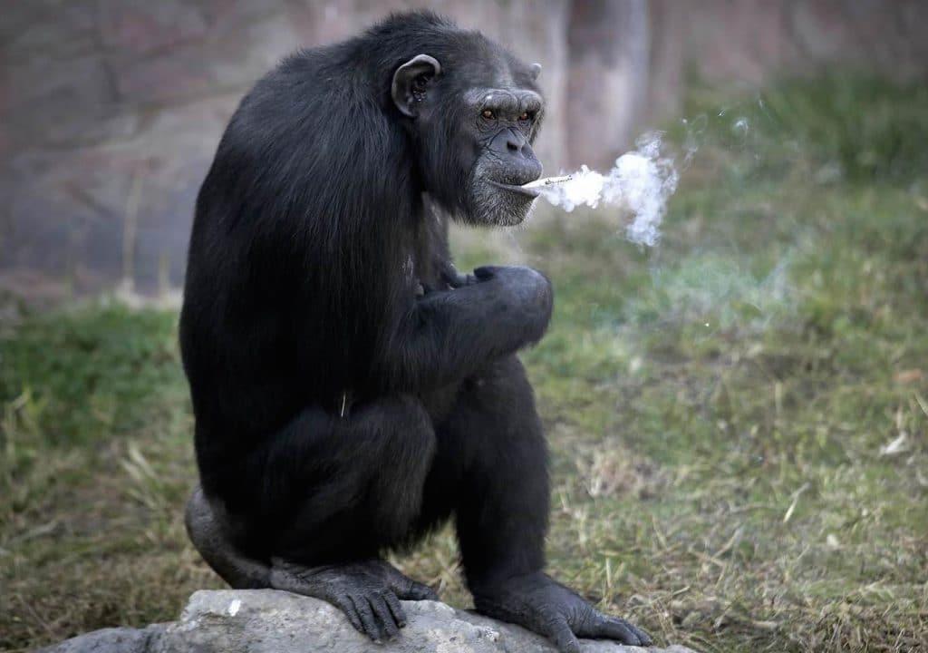 North Korean smoking chimpanzee