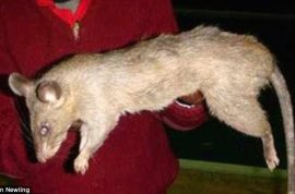 How? Giant rats eat three month old Johannesburg baby girl alive while mom went out partying