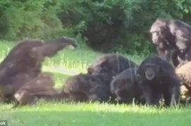 Watch: Kansas City zoo chimp beaten to death by other primates