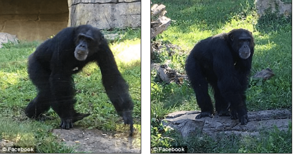 Kansas City zoo chimp beaten to death: