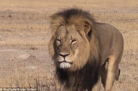 $52K: Cecil the Lion's son Xanda killed by trophy hunter