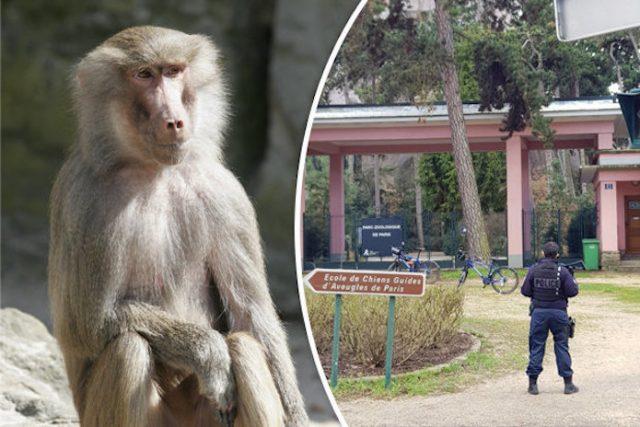 52 Paris zoo baboons escape
