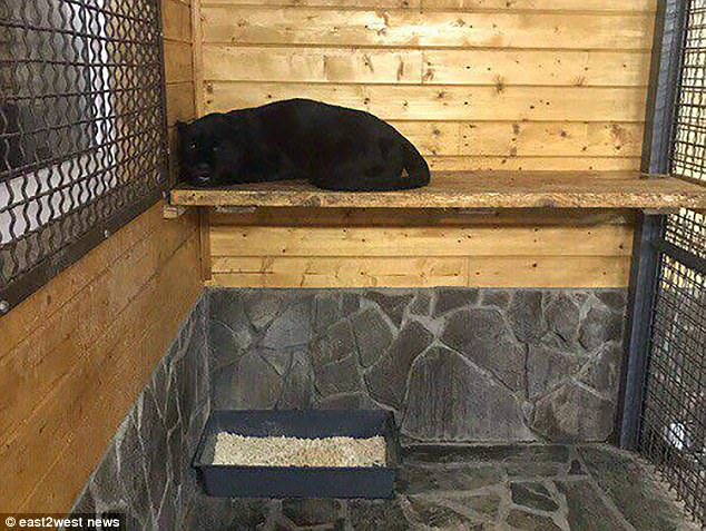 Black panther mauls to death Ukrainian man