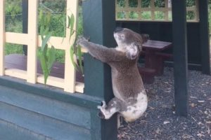 Why? Dead Koala screwed to Queensland pole