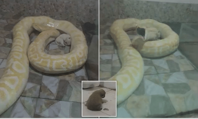 Chinese zoo feeds live puppies to python snakes