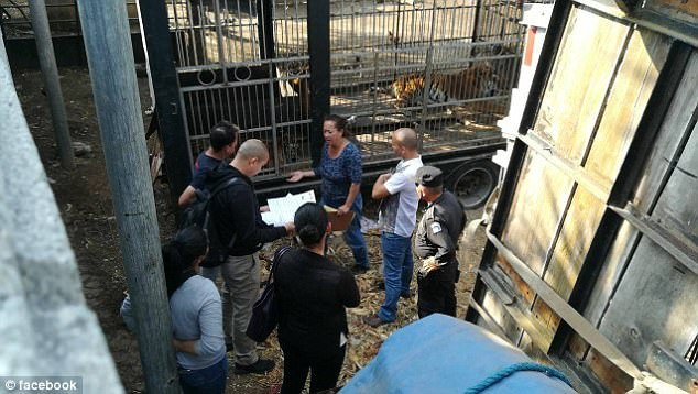 Guatemala circus worker arms ripped off feeding tigers