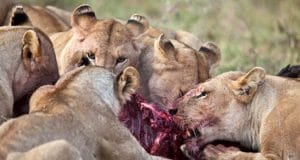 South African poacher eaten by lions