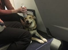 Southwest Airlines emotional support dog