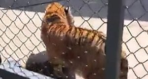 Chinese zookeeper mauled to death