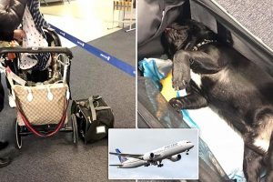How? French bulldog puppy dies after United Airlines force owner to put it in overhead bin
