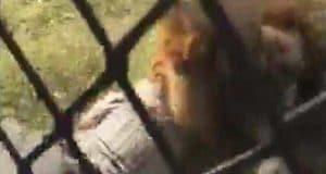 Makarele Predator Centre lion attack