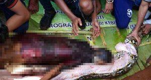 Wa Tiba, Giant python snake swallows Indonesian woman