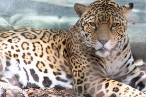 How? New Orleans jaguar escapes from enclosure- kills six animals