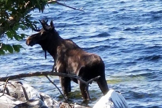 lake Champlain moose drowns