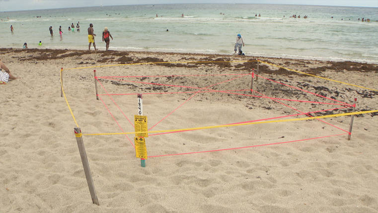 Florida sea turtle nesting eggs stomping