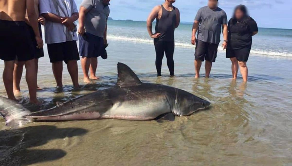 Dying Great White shark kicked Orewa Beach beach selfie