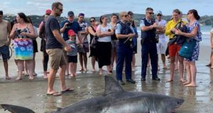 Dying Great White shark kicked during NZ beach selfie