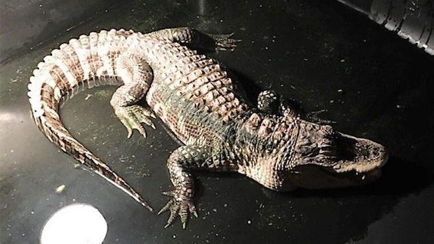 Dusty Rhoades pet alligator