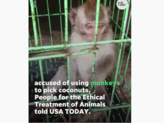 coconut milk forced monkey labor