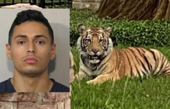 Houston tiger on the loose