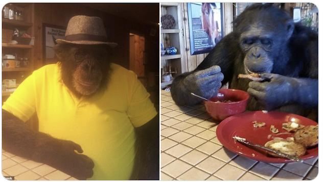 Tamara Brogoitti pet chimpanzee