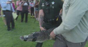 Palm Harbor alligator attack