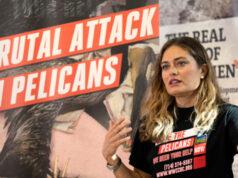 Brown Pelicans mutilated