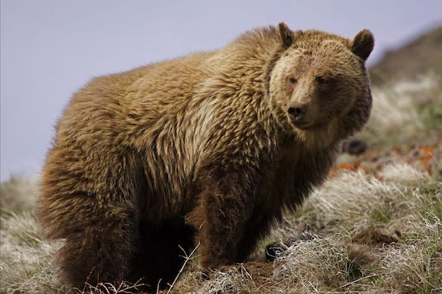 California woman killed by grizzly bear camping Ovando Montana