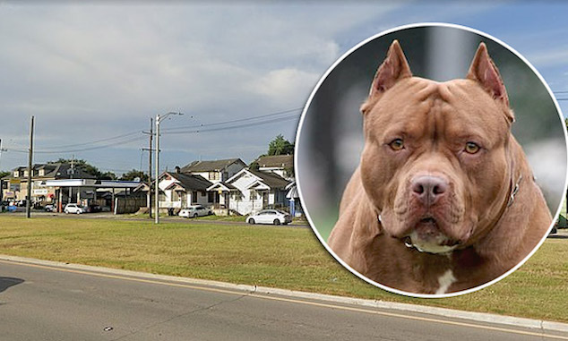 Pit bull mauls 66 yr old man to death climbing through relatives window New Orleans